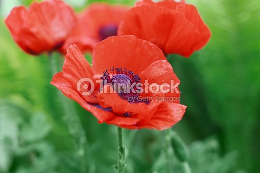 Red Poppy Flower Papaver Symbol Of Remembrance Or Poppy Day Stock