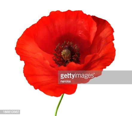 Papoila vermelha flor em branco