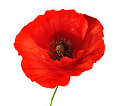 Red poppy flower on white