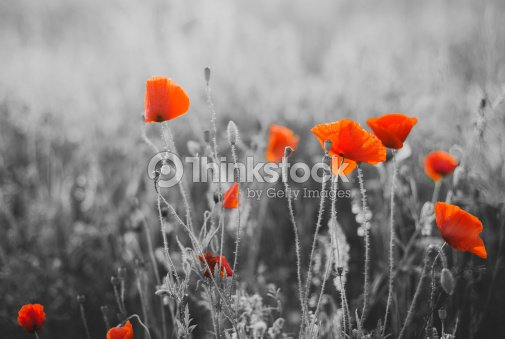 Red poppy flowers for remembrance day sunday stock photo thinkstock red poppy flowers for remembrance day sunday stock photo mightylinksfo