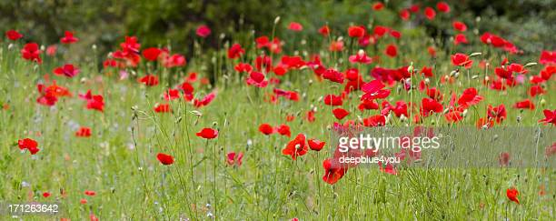 Roter Mohn Blumen