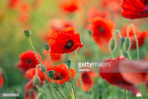 Red poppy flowers : Stock Photo