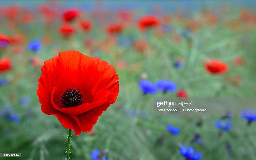 Red poppy wild flower