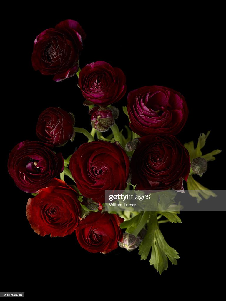 red ranunculus flowers on a black background
