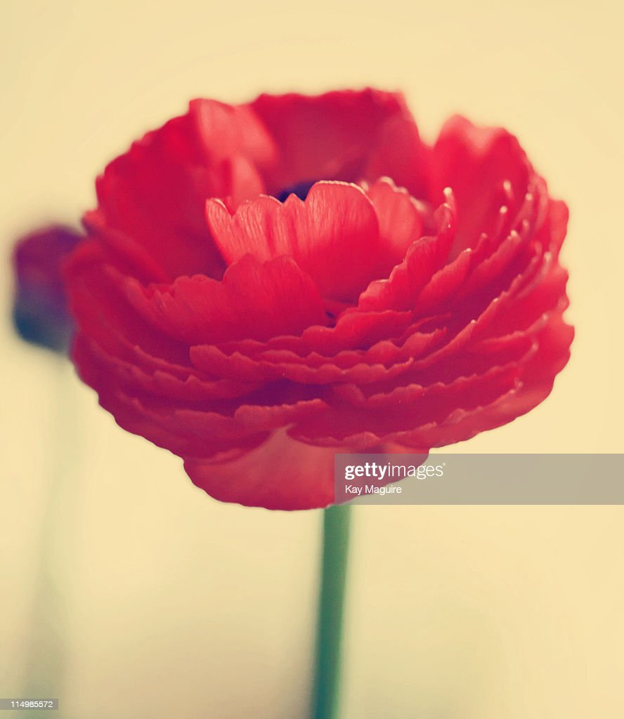 Red ranunculus : Stock Photo