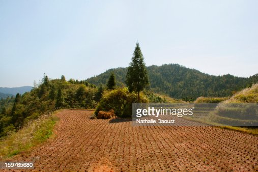 Red rice field in autumn evening. : Stock Photo