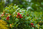 Red ripe cowberry, hilberry, cranberry plant in the forest