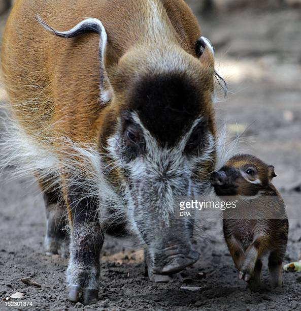 Red river hog mother Dagamba stands next to her baby Tonka on September 18 2012 at the Zoologischer Garten zoo in Berlin Tonka was born on September...