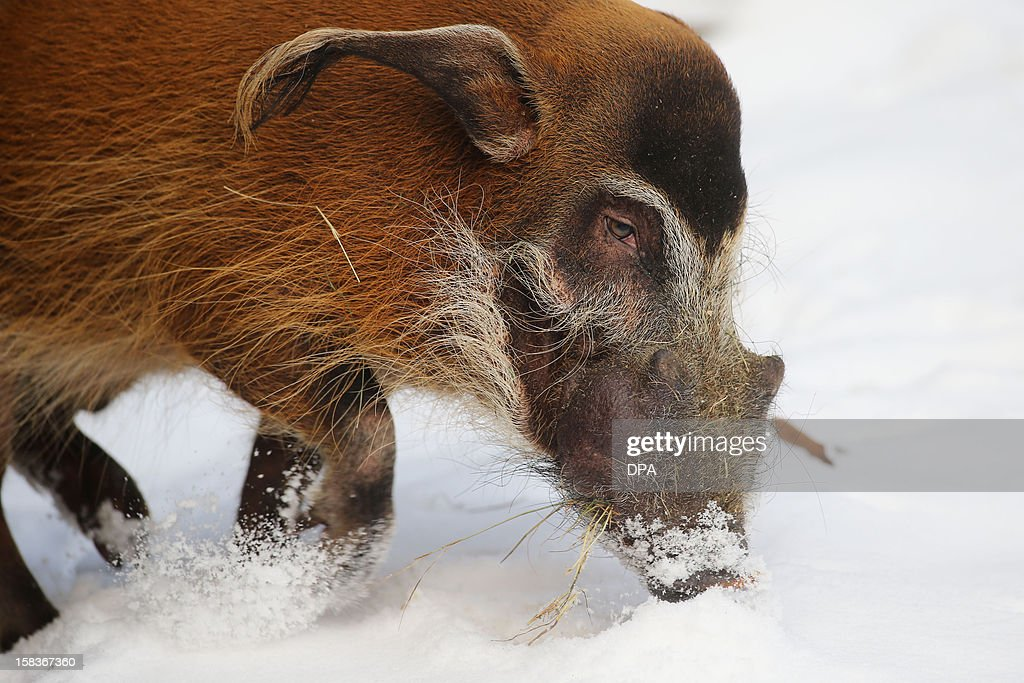 A red river hog walks in its enclosure on December 14, 2012 at the Hagenbeck zoo in Hamburg, northern Germany.