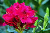 Red rododendron