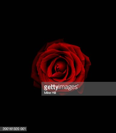 Red rose against black background, close-up
