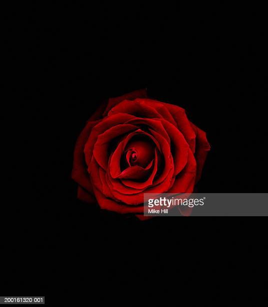 Red rose against black background, close-up