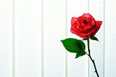 Red Rose Against Curtain
