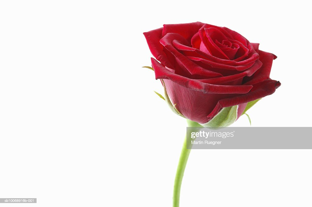 Red rose against white background
