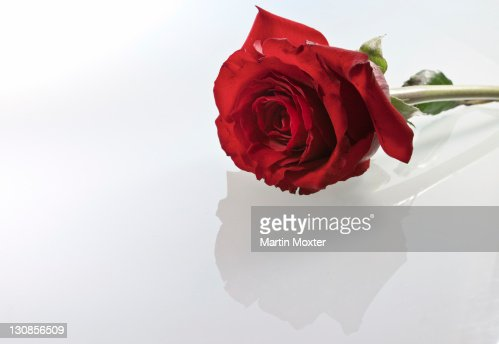 Red rose against white : Stock Photo