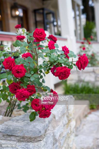 Red rose bush in a limestone flower box