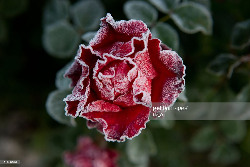 red rose covered with frost in the garden : Foto de stock