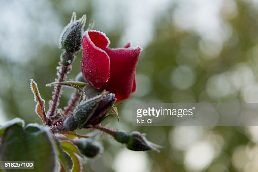 red rose covered with frost in the garden : Stock Photo