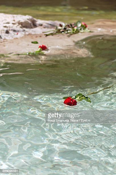 Red Rose Floating On Pond