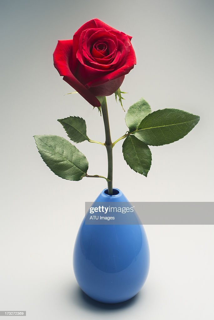 Red rose in blue vase : Stock Photo