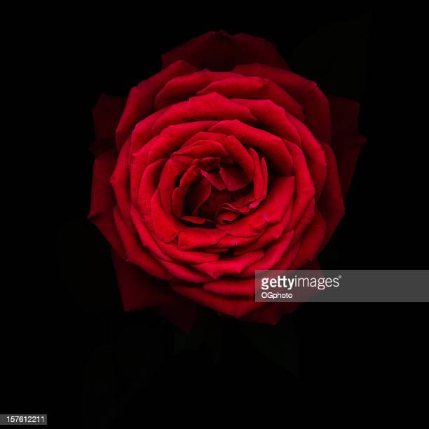 rose rouge isolé sur fond noir