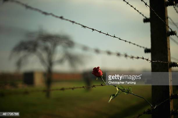 A red rose left in tribute to victims is attached to the barbed wire fence at the Auschwitz II Birkenau extermination camp on November 12 2014 in...