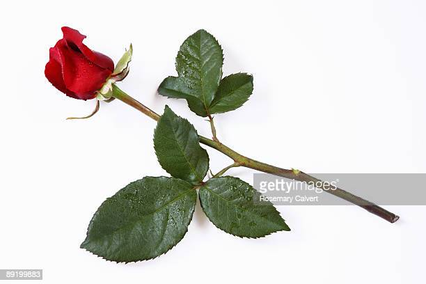 Red rose lying down, white background