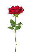 Luxurious dark-red rose on a long stem with green leaves isolated on white background, side view