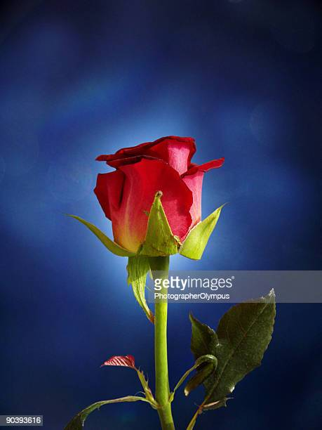 Red rose on blue background light
