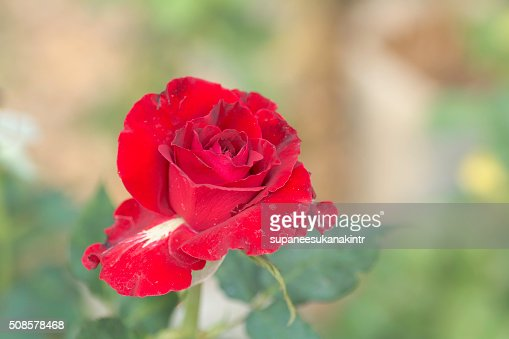 Red rose on blurred background . : Stock Photo