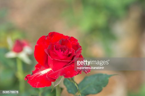 Red rose on blurred background . : Stockfoto