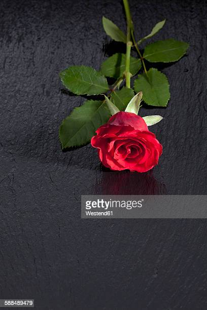 Red rose on slate, copy space