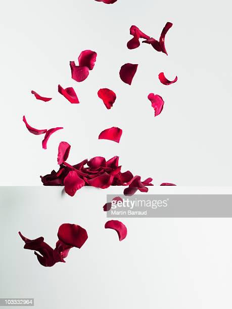 Chute des pétales de rose