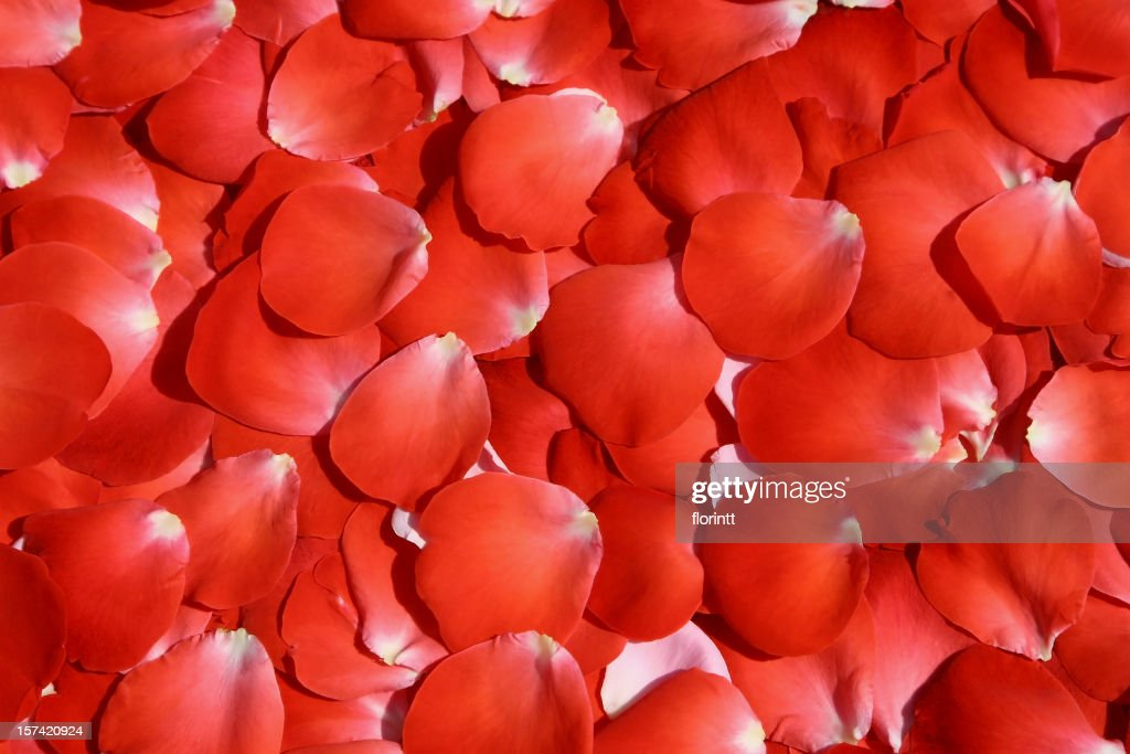 red rose petals : Stock Photo