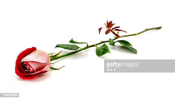 Rojas rose
