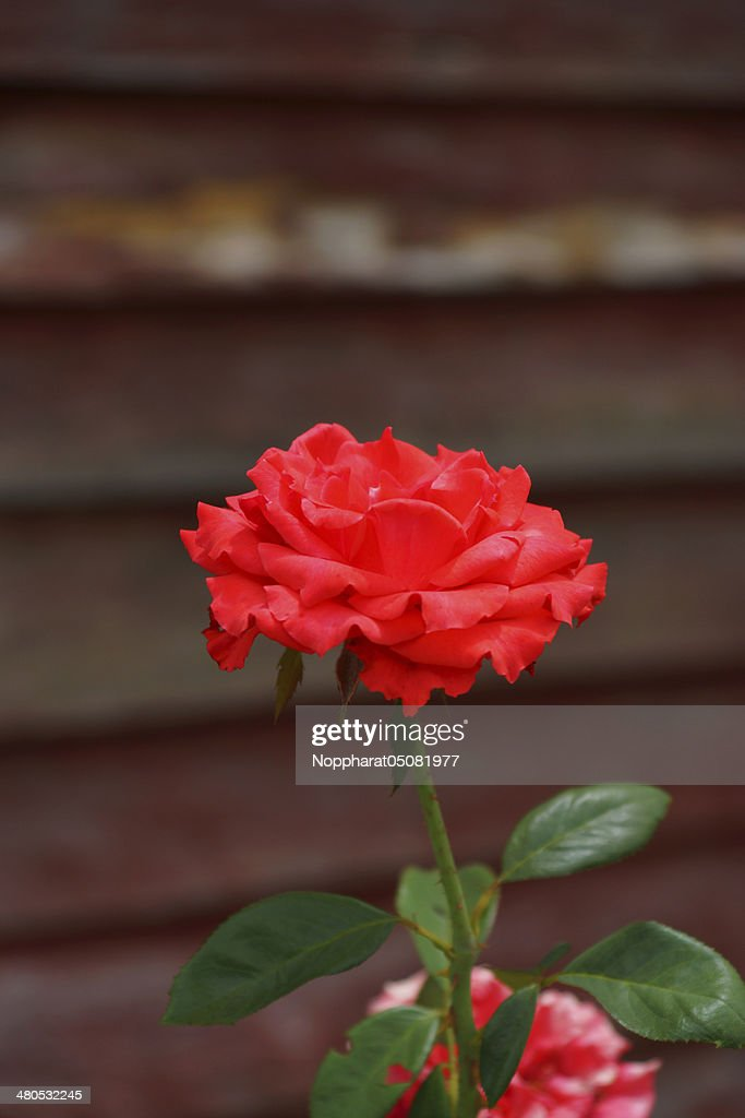 Red rose. : Stockfoto