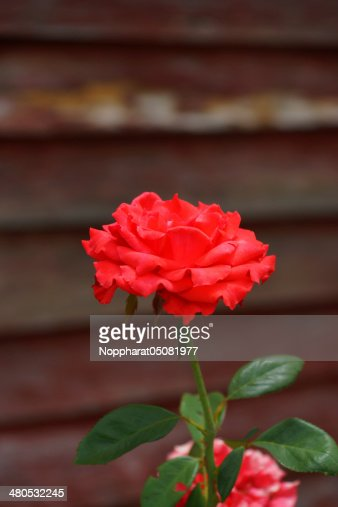 Red rose. : Stock Photo
