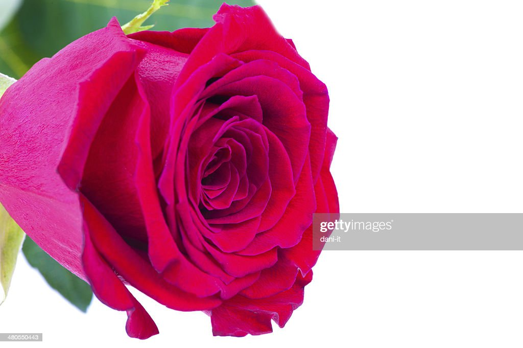 Rojas Rose : Foto de stock