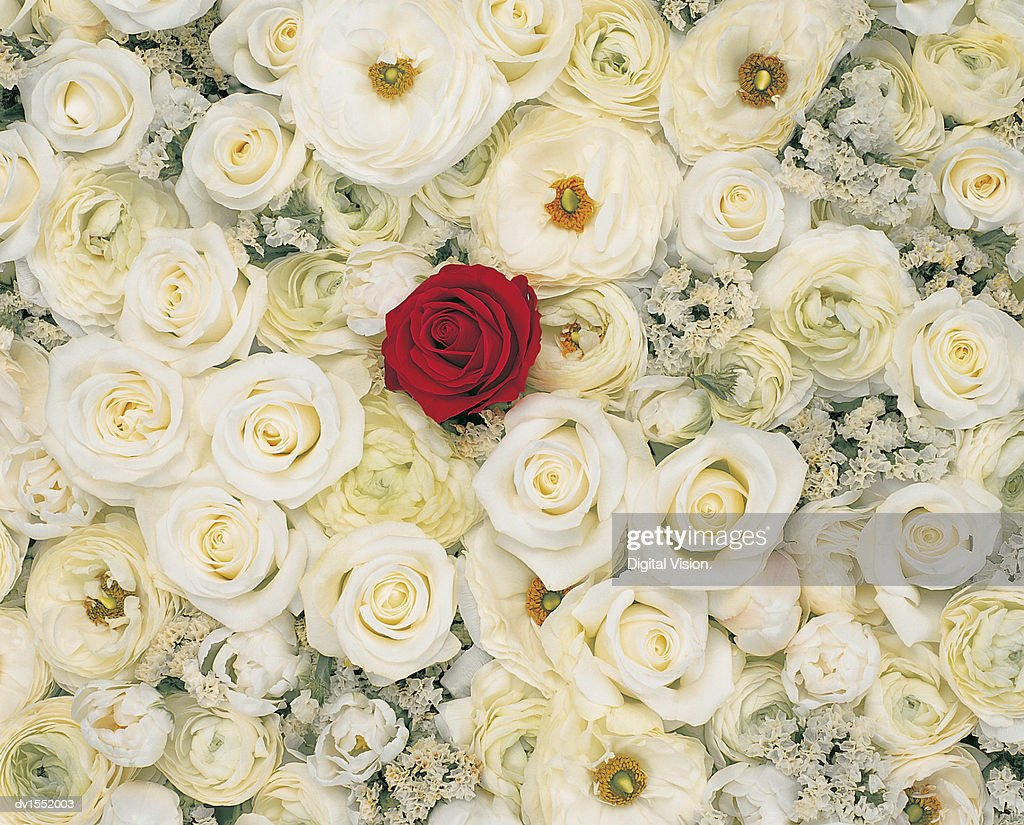 Red Rose Standing Out of a Crowd of White Roses : Stock Photo