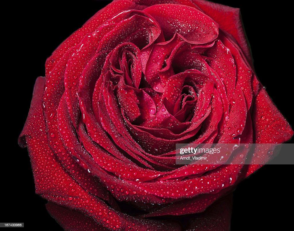 Rosas rojas con waterdrops. : Foto de stock