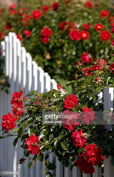 Red Roses and a White Picket Fence