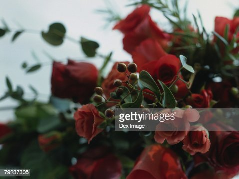 Red roses and buds : Stock Photo