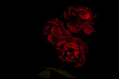Three red roses on a black background