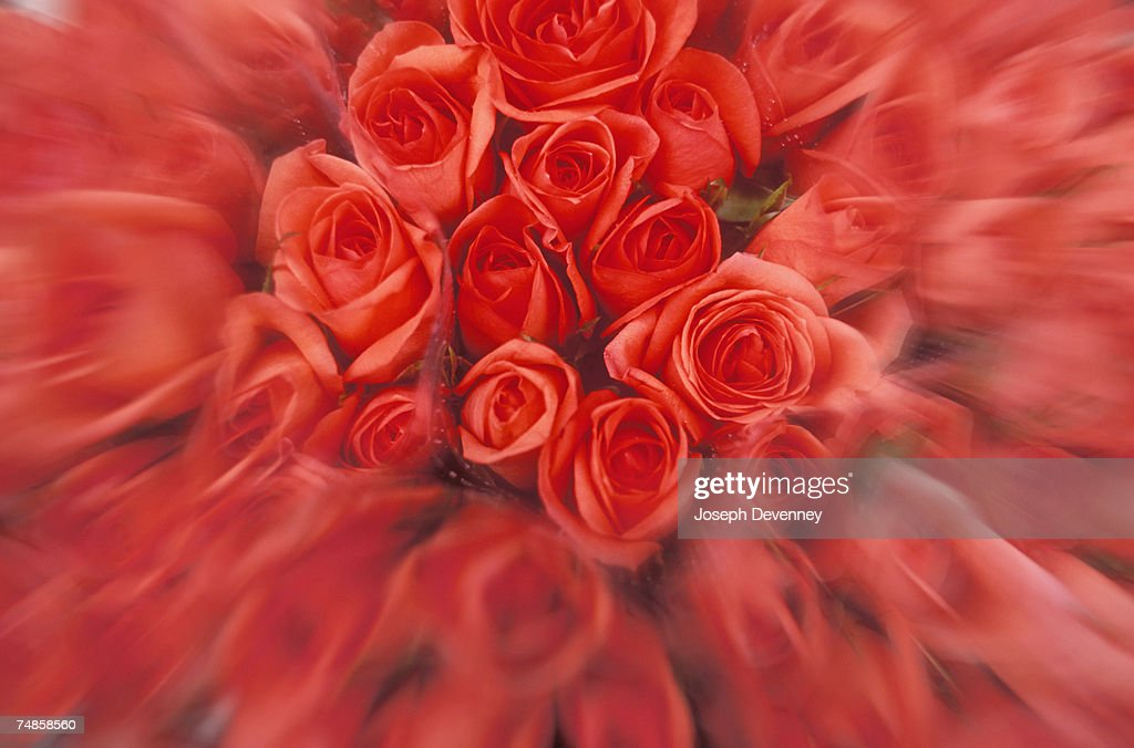 Red roses, (selective focus) : Stock Photo