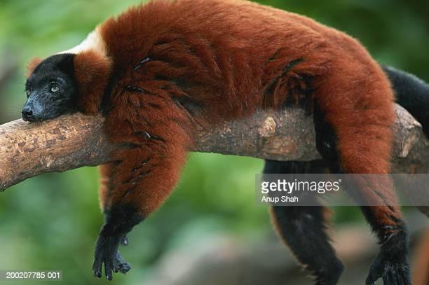 Red ruffed lemur (Varcia variegata) lying on branch, captive, Madagascar