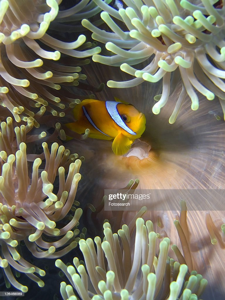 Red Sea anemone fish (Amphiprion bicinctus) in Magnificent anemone (Heteractis magnifica). Anemone City, Sharm El Sheikh, South Sinai, Red Sea, Egypt.
