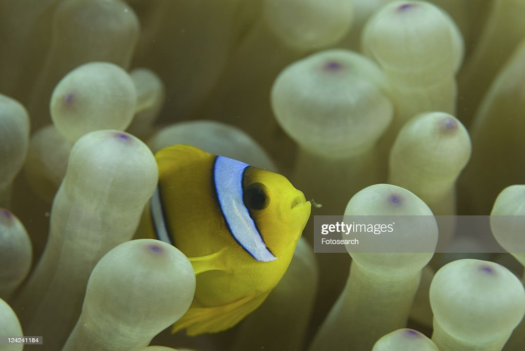 Red Sea Anemonefish (Amphiprion bicinctus), juvenile amidst anemone tentacles, Red Sea, Egypt