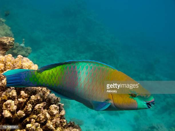 Red Sea Parrotfish