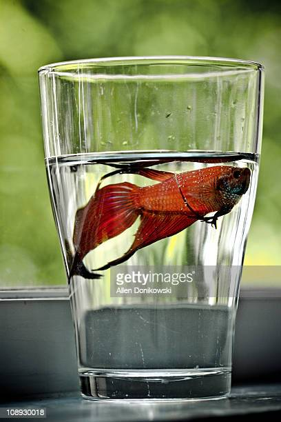Red Siamese Fighting Fish In A Cup