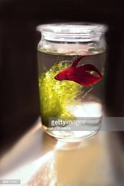 A red siamese fighting fish in a glass tank